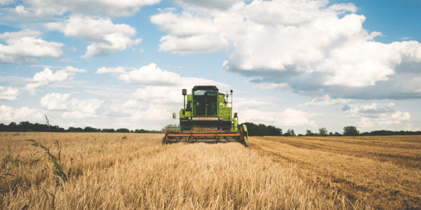 A green combine harvester in a field of wheat driving directly at the photographer